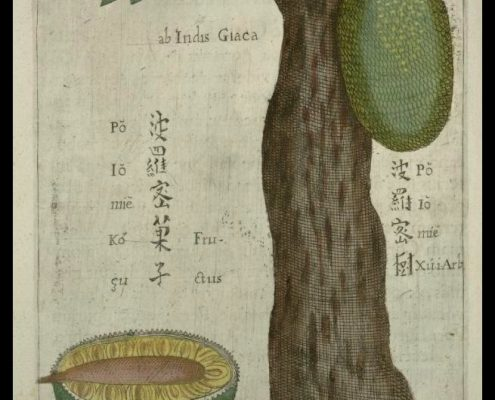 The jackfruit illustrated by Michael Boym in the 1656 book Flora Sinensis.
