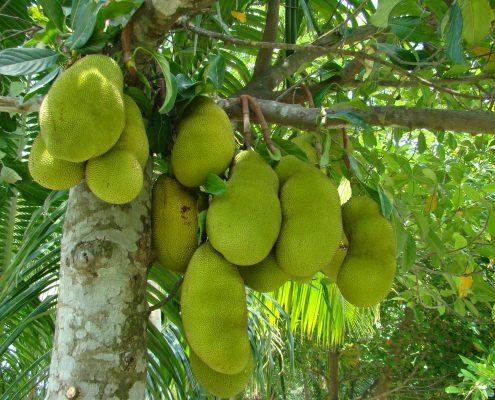 Photo of developing jackfruit in Bangladesh