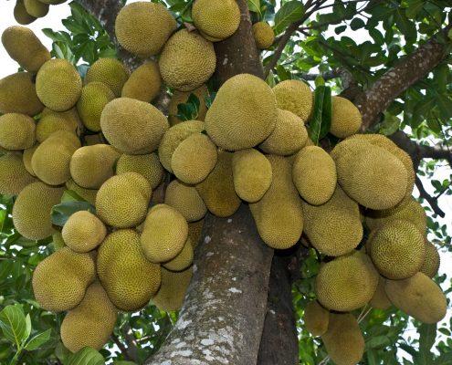 Photo of Jackfruit the National fruit of Bangladesh